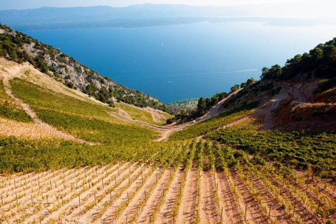 Brački vinograd