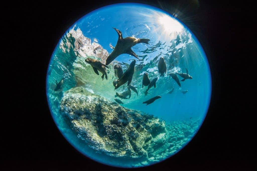 Sea Lions, ronjenje, morski lavovi