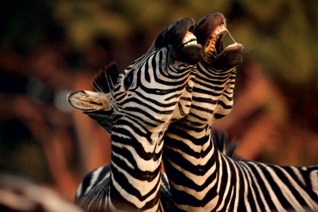 Ovo je fotografija zebra u Nacionalnom parku Brijuni