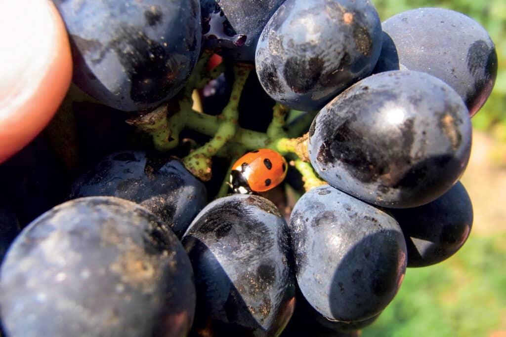 Ovo je fotografija crnog grozda grožđa - biodinamička vina