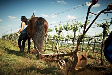 Ovo je fotografija obrade vinograda